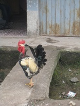 Honduras Roosters are early risers!